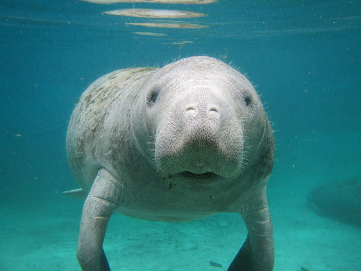 Manatee at Three Sisters Spring