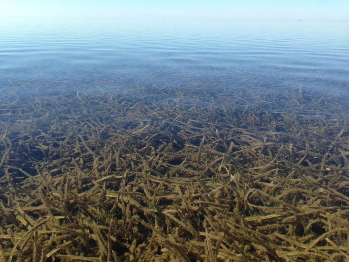 Sea Grass and Clear Water
